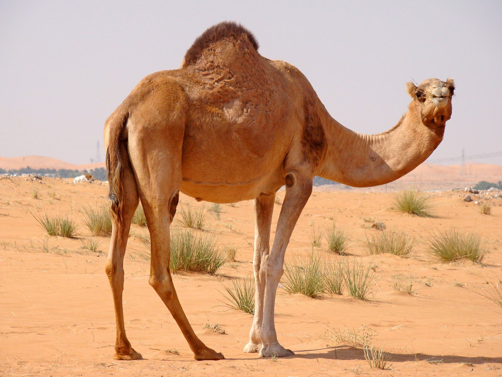 103 best camels are such cute gals and guys images on pinterest