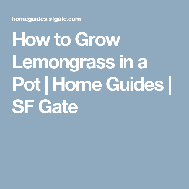 How to Grow Lemongrass in a Pot | Home Guides | SF Gate
