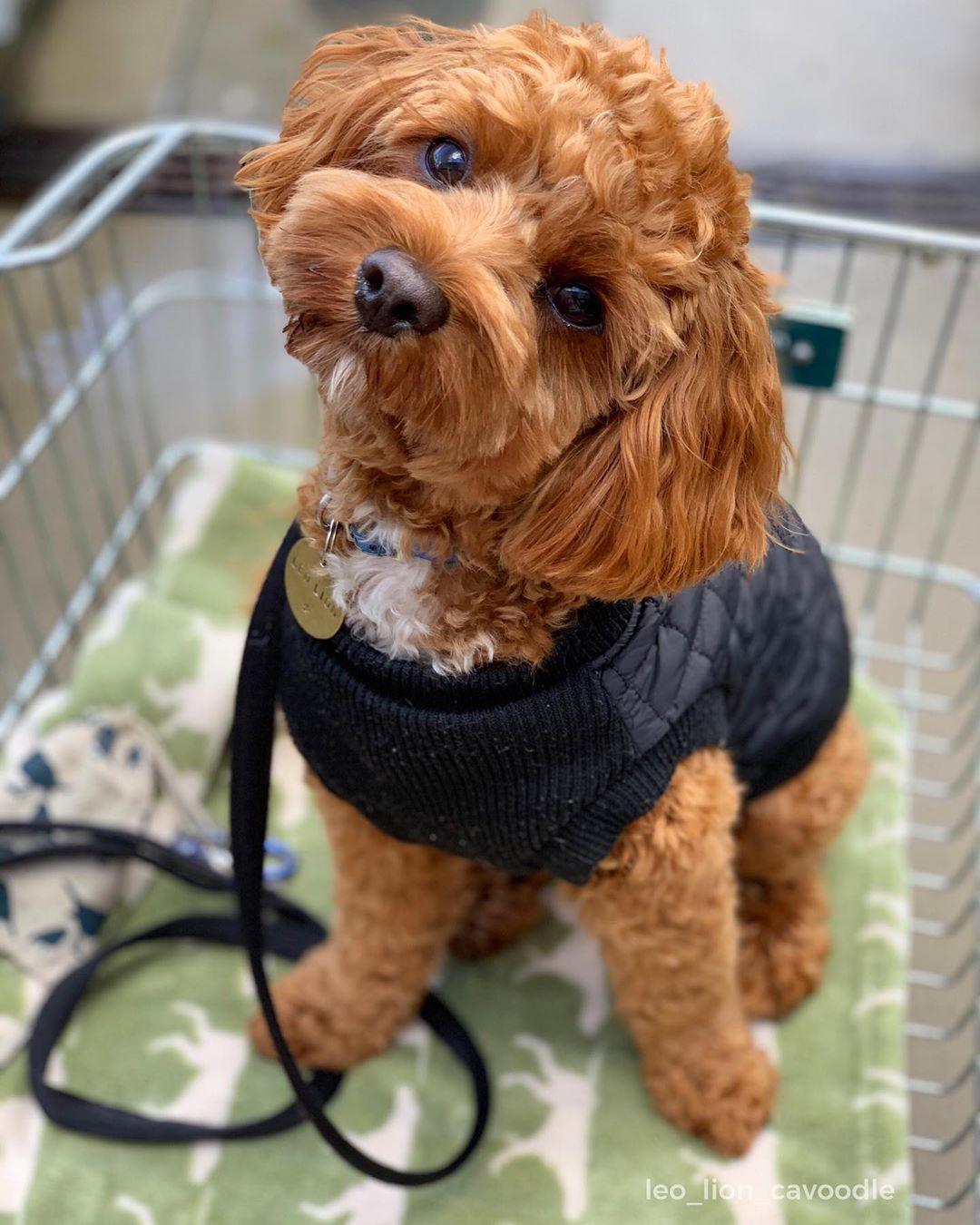 Leo Lion On Instagram Bringing Style To Bunnings Style Dogsatbunnings Goodshopper Dogsintrolleys Teddybeardog Cavoodle Cavapoo Bark Pawfectp