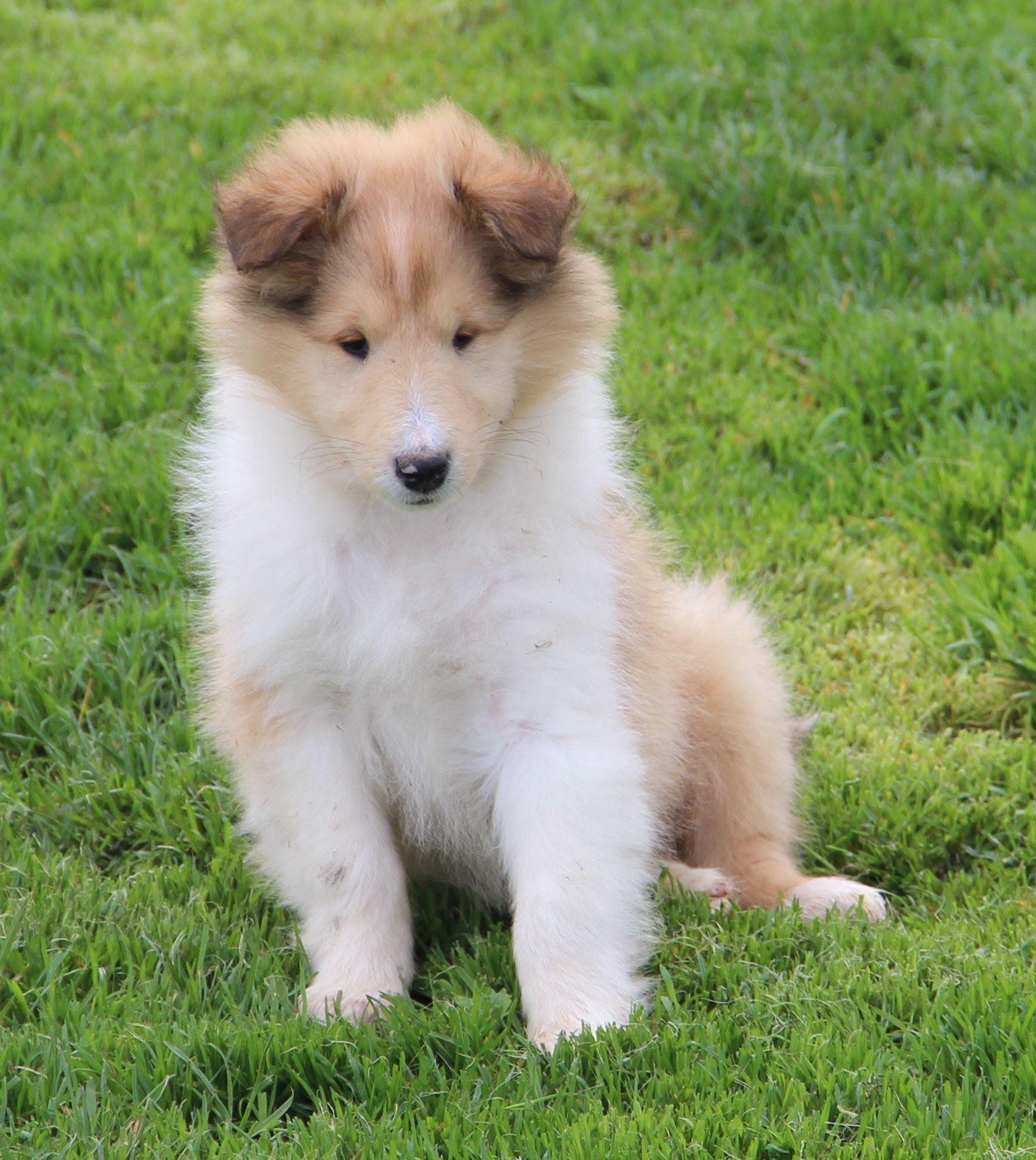 Collie puppy med billeder
