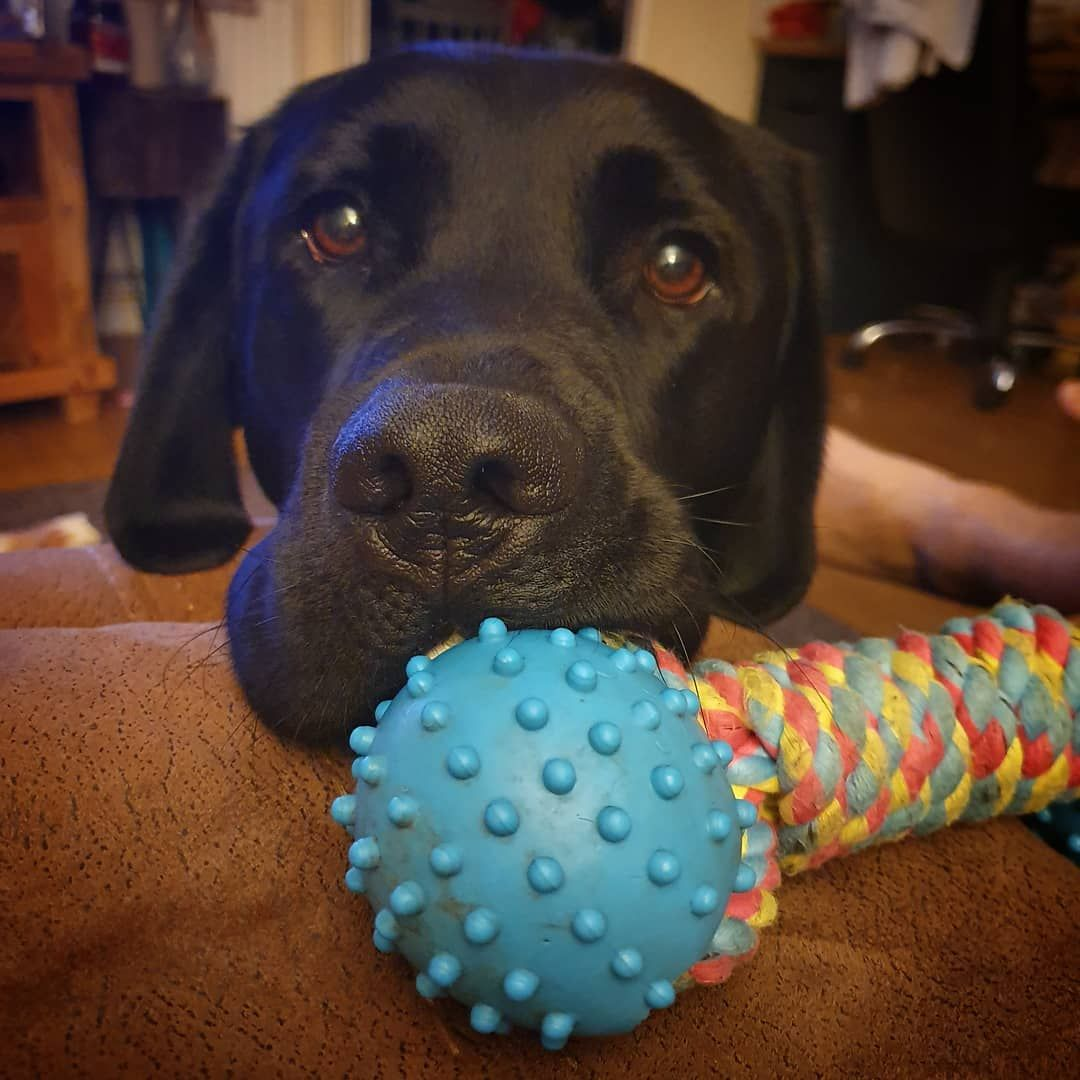 Hoomum Its 9pm Let S Have A Game Of Tug Hearingdogs