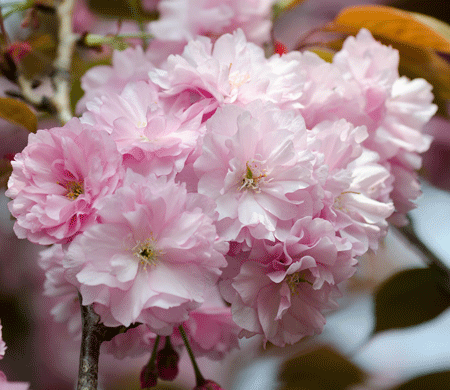Pink Weeping Cherry Tree Weeping Cherry Tree Flowering Cherry Tree Blossom Trees