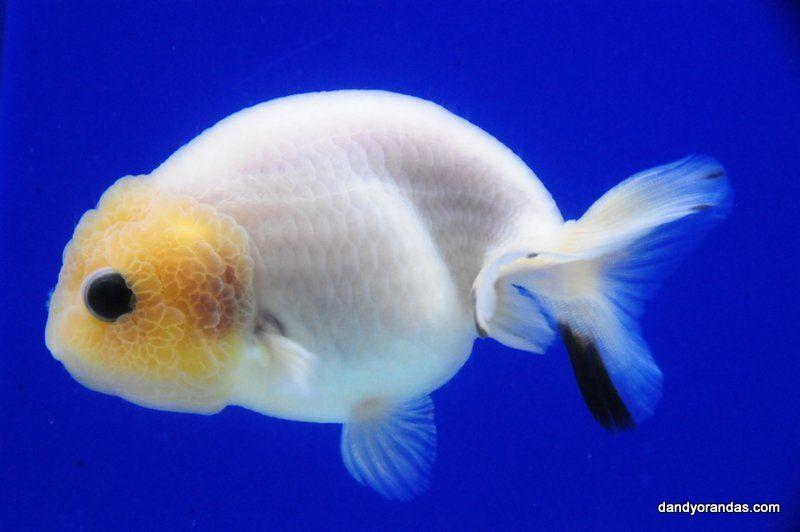 White Matt Ranchu Dandyorandas Com Goldfish Koi Fish Pond Lionhead Goldfish
