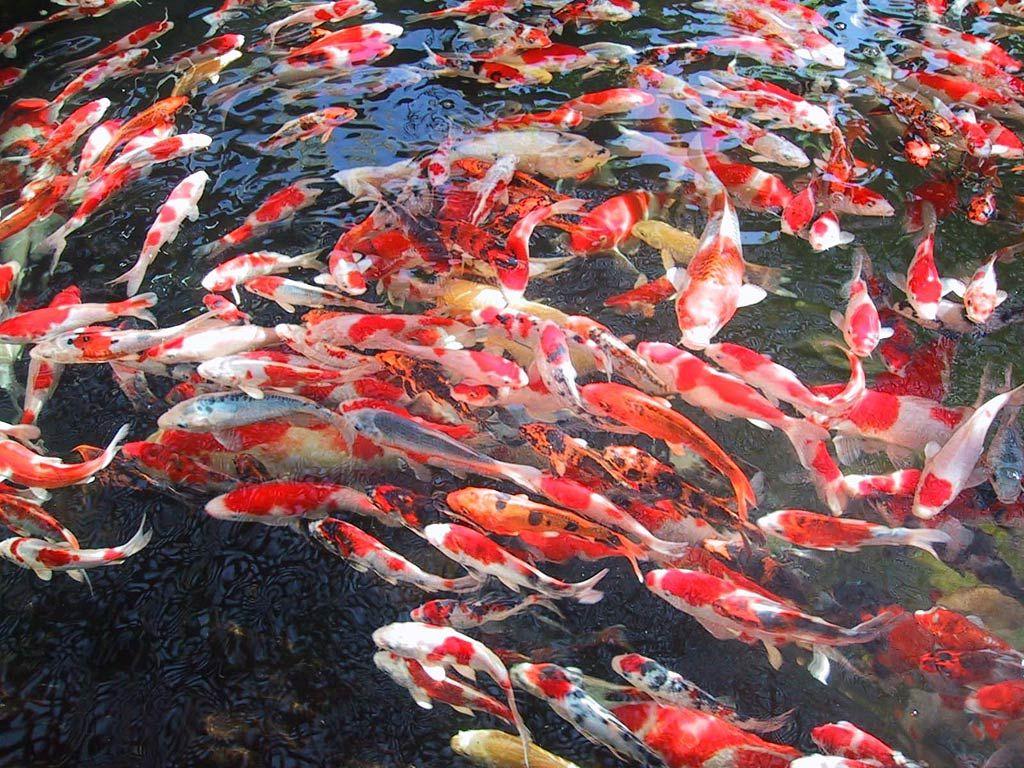 Marvelous Moving Koi Fish Wallpaper Moving Koi Fish Wallpaper Hd Wallpapers Pinterest Koi Koi Fish Wallpaper Iphone Koi Fish Wallpaper Phone houzz-03 Koi Fish Wallpaper
