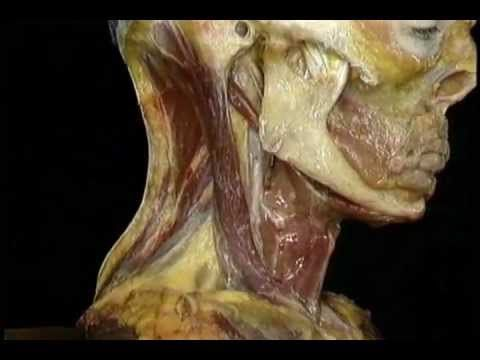 The Best Head And Neck Anatomy Part I Youtube Wonderful Visual