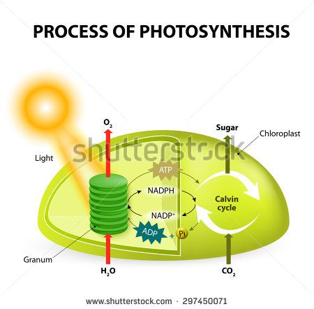 Diagram of the process of photosynthesis showing the light diagram of the process of photosynthesis showing the light reactions and the calvin cycle ccuart Images