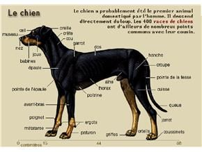 Chien (morphologie du) Chien