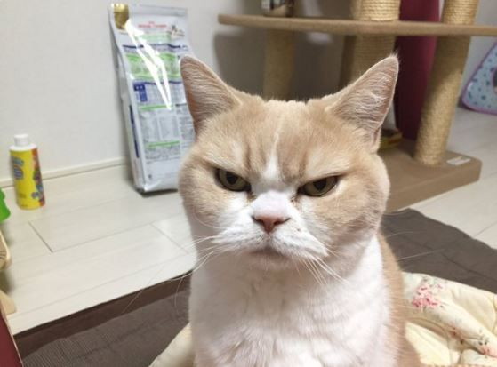 Move Over, Grumpy Cat! Angry Cat Is the New Star of the Internet - Neatorama