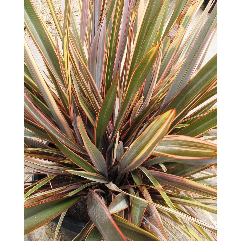 Phormium hybrids 'Sundowner' - Boething Treeland Farms