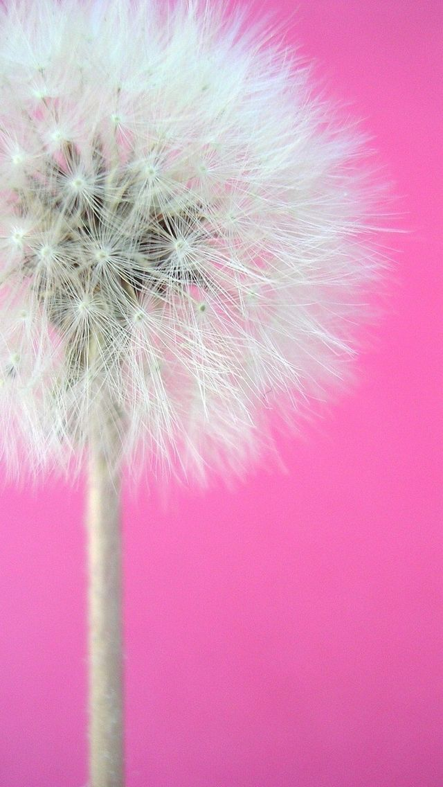 The best images about dandelion on Pinterest Fireworks