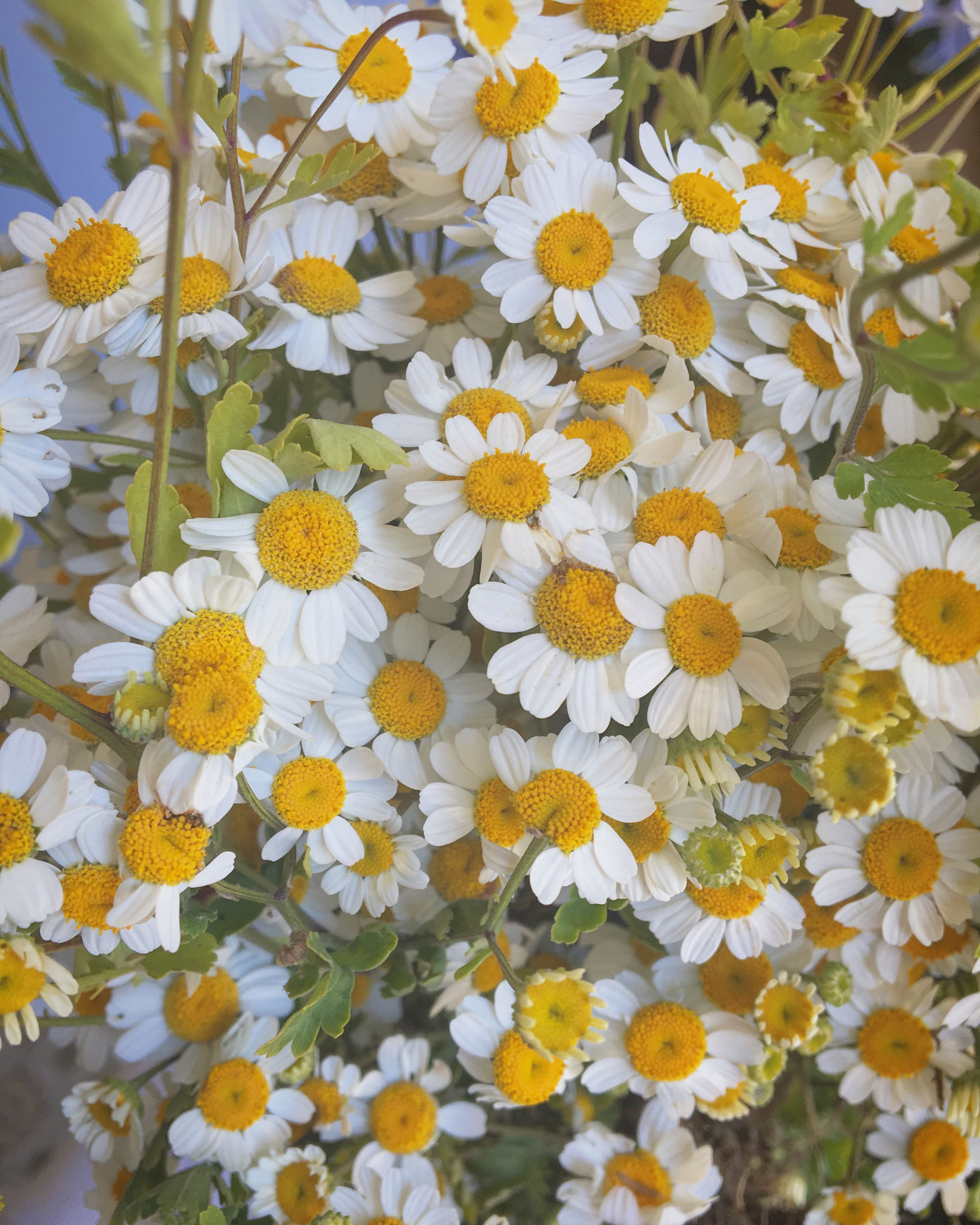 Feverfew For Migraine Relief Flower Aesthetic Plant Aesthetic Beautiful Flowers