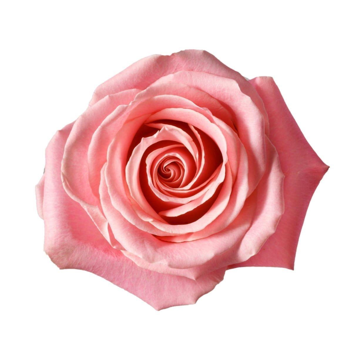 Hermosa Rose Hot Pink Roses Rose Pink Petals