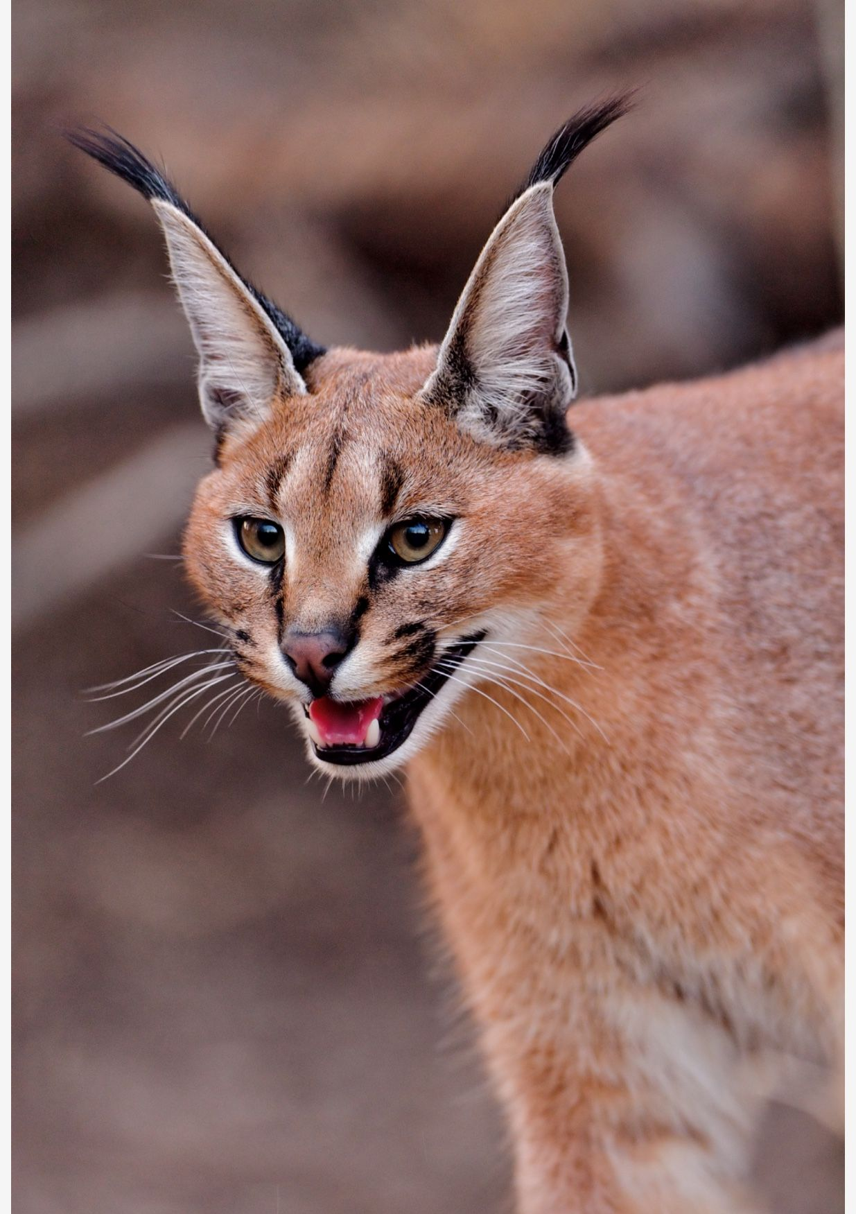 Pretty caracal (Caracal caracal), a mediumsized wild cat