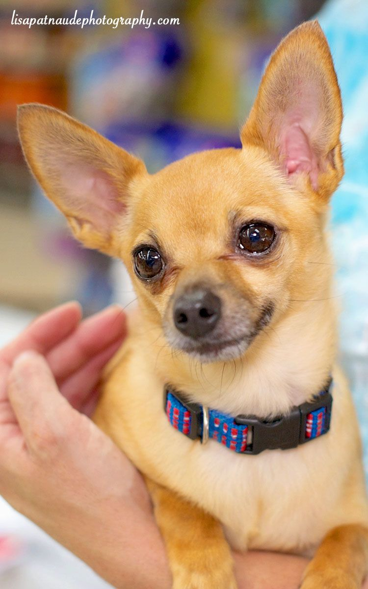 Adopt Princess On Animal Love Dogs Chihuahua Chihuahua Rescue