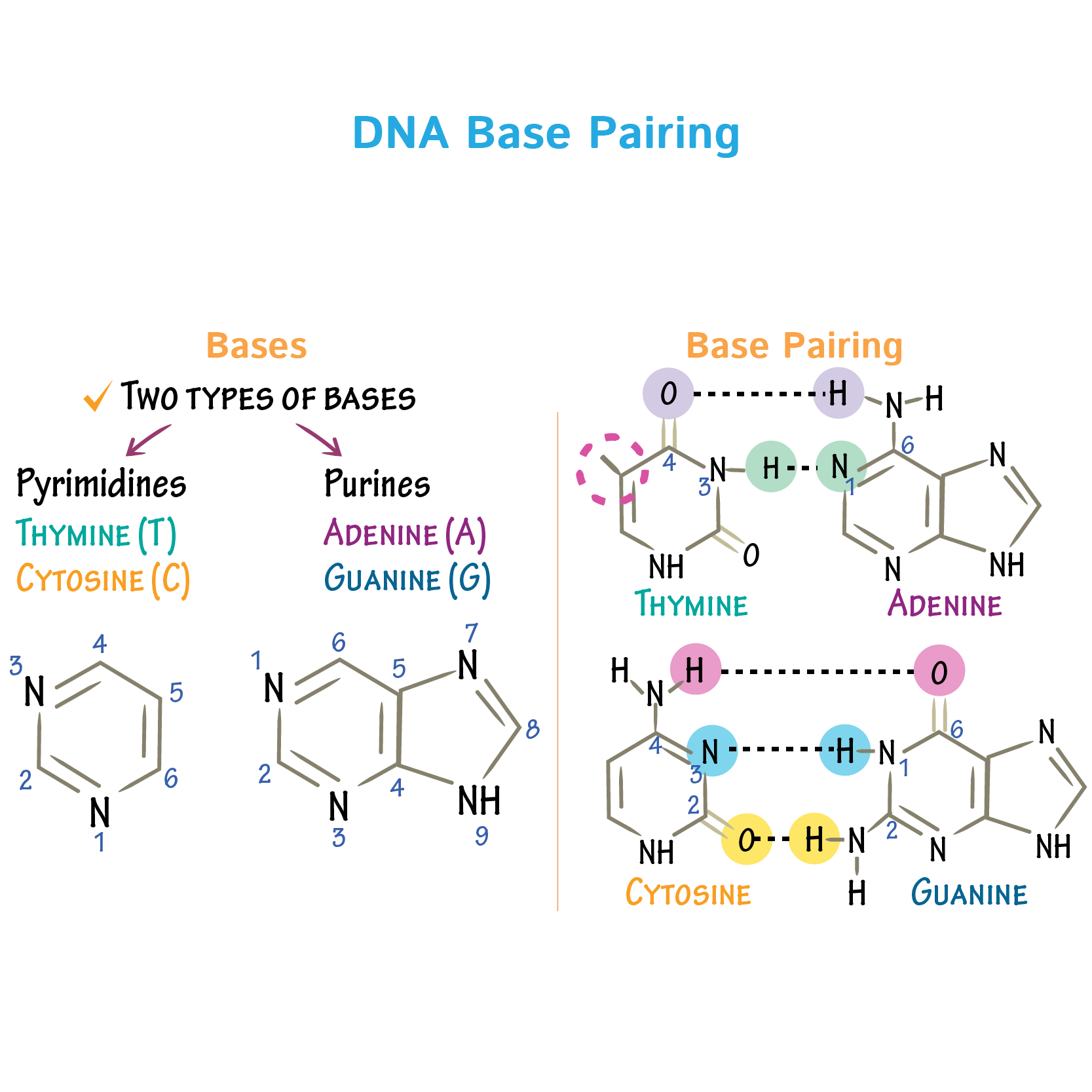 dna base pairing draw it to know it [ 1667 x 1667 Pixel ]
