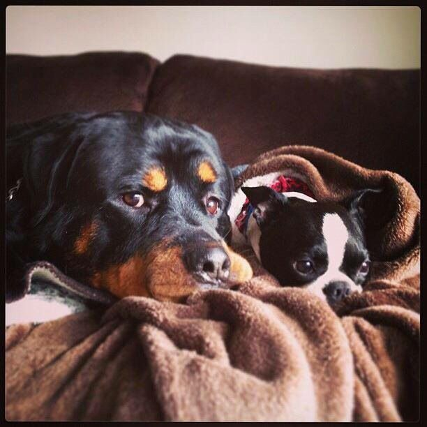 Rottweiler With His Best Buddy The Boston Terrier Boston