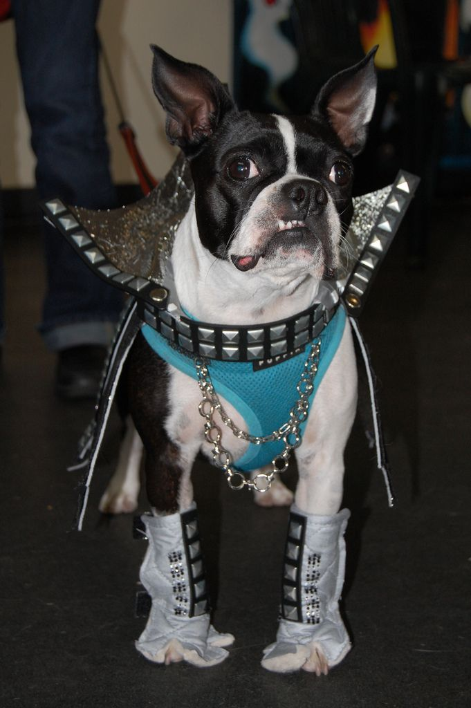 Halloween Costume Bt As Gene Simmons Boston Terrier Army Dogs
