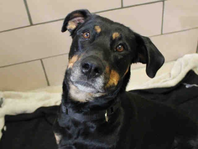 Doberman Pinscher Dog For Adoption In Lafayette In Adn 550166 On