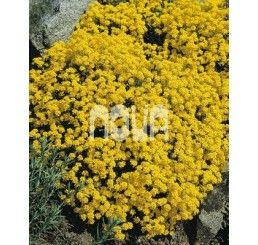 Alyssum saxatile compactum ´Goldkugel´ / Tarica zobáčikatá, K9