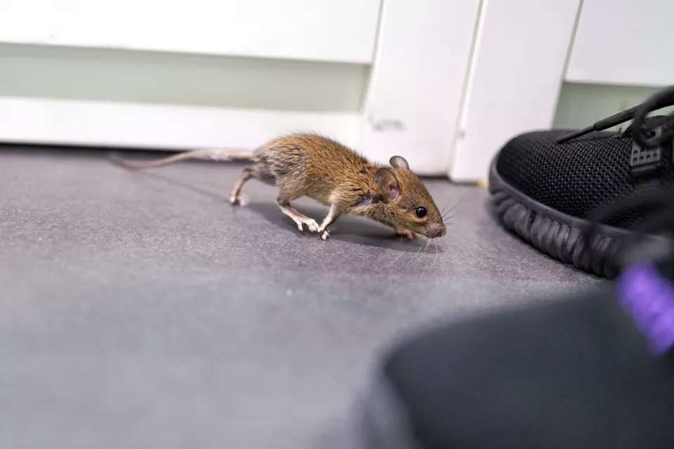 How To Get Rid Of Mice In The Garage In 2020 Getting Rid Of Mice Getting Rid Of Rats Keep Mice Away