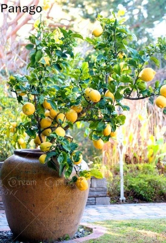 10pcs Lemon Seeds Bonsai Tree Seed Perennial Indoor Pot Plant Lemon Fruit Seeds Citrus Limon For Home Garde Fruit Trees In Containers Citrus Trees Potted Trees