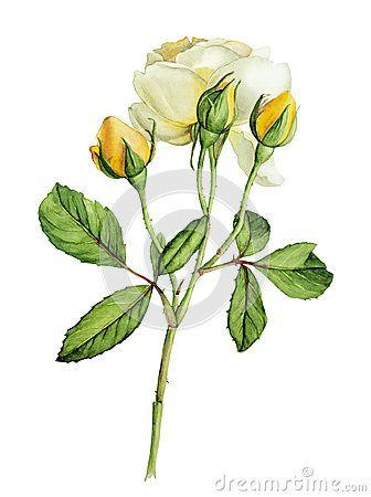 Aquarela botânica das rosas amarelas