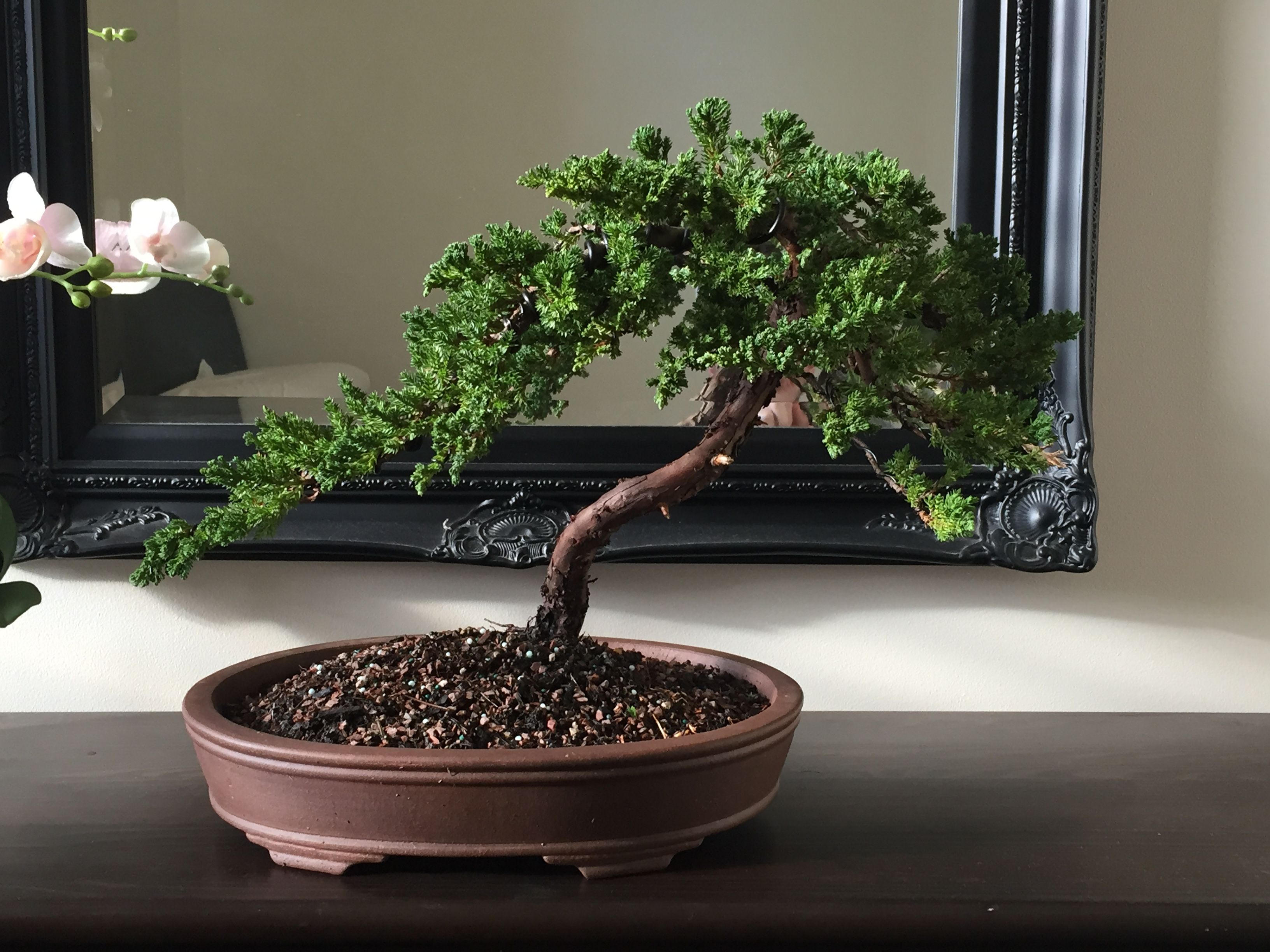 Large Juniper 1 After Pruning And Wiring 12 06 2016 Bonsai Tree Gardening