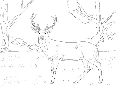 Whitetail Deer With Images Deer Coloring Pages Animal