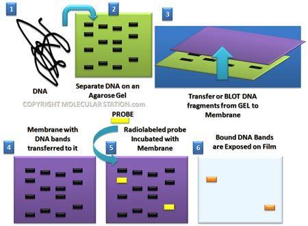Google Image Result For Http Www Molecularstation Com Images Southern Blot Jp Medical Laboratory Science Molecular Biology Southern Blot