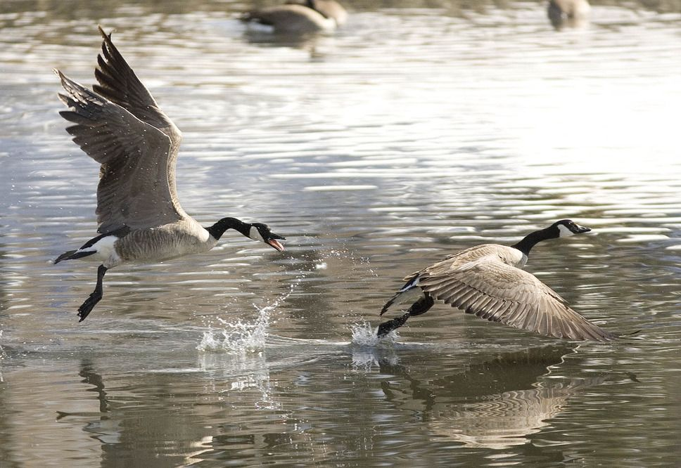 Canada geese on the pond at Liberty park. (Paul Fraughton  |  The Salt Lake Tribune)