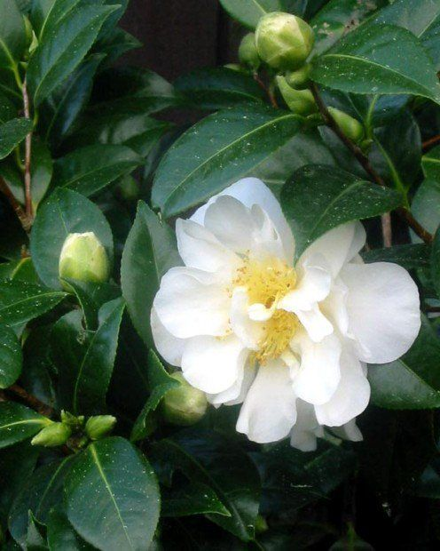 How To Grow Gorgeous Camellias From Cuttings Grow Gorgeous Growing Roses Camellia Plant