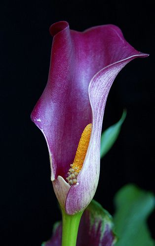 Beautiful & almost regal... I love unusual flowers and this surely fits that!