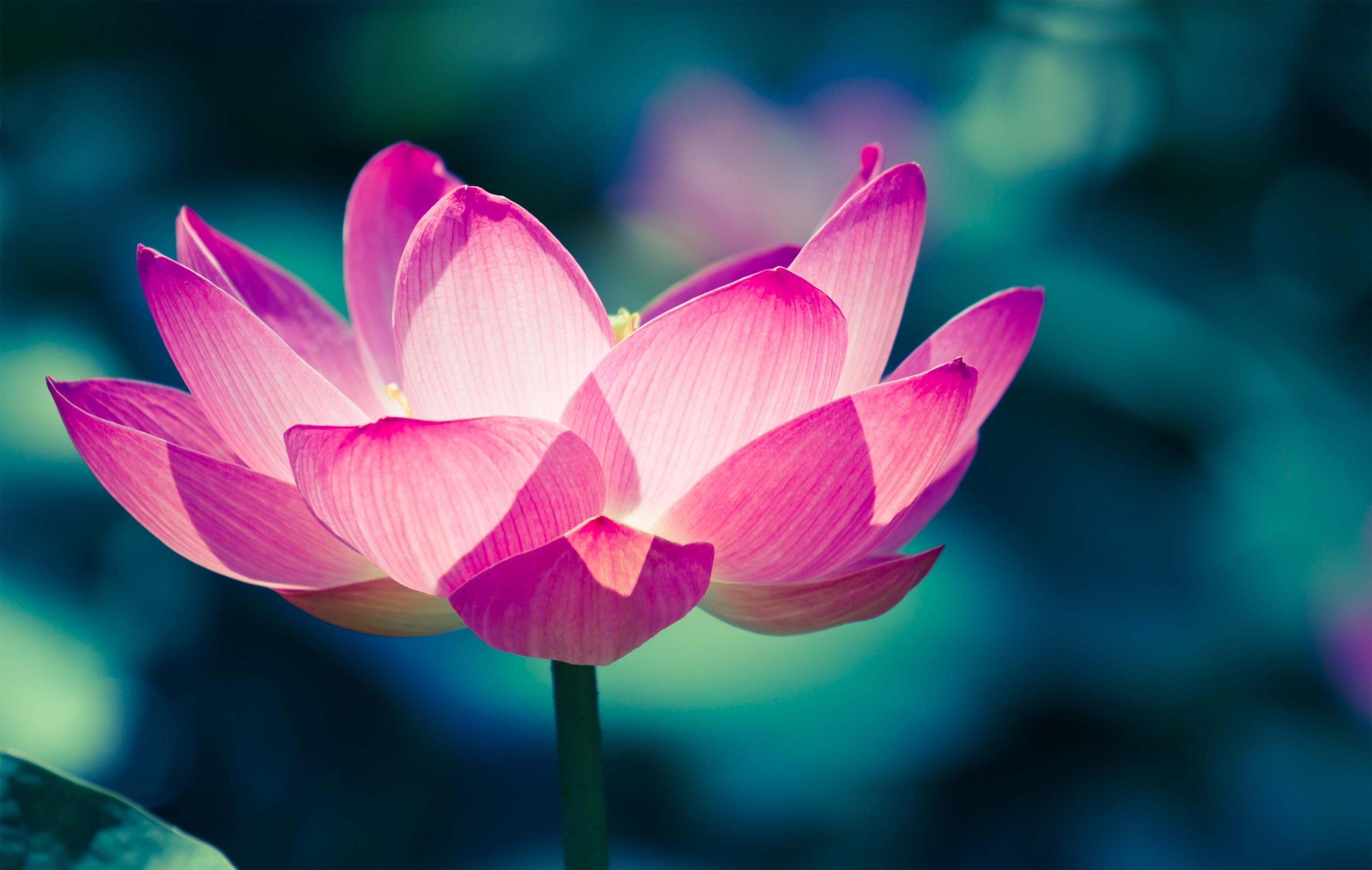 Lotus [1920x1080] Lotus flower meaning, Flower meanings