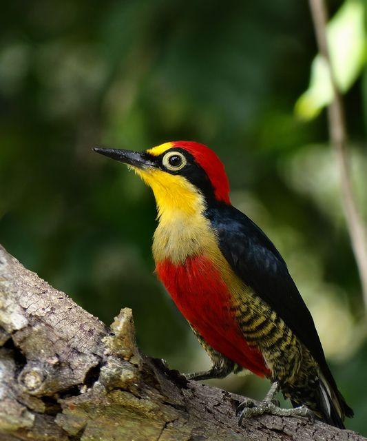 Foto benedito-de-testa-amarela (Melanerpes flavifrons) por Henrique Junior | Wiki Aves - A Enciclopédia das Aves do Brasil