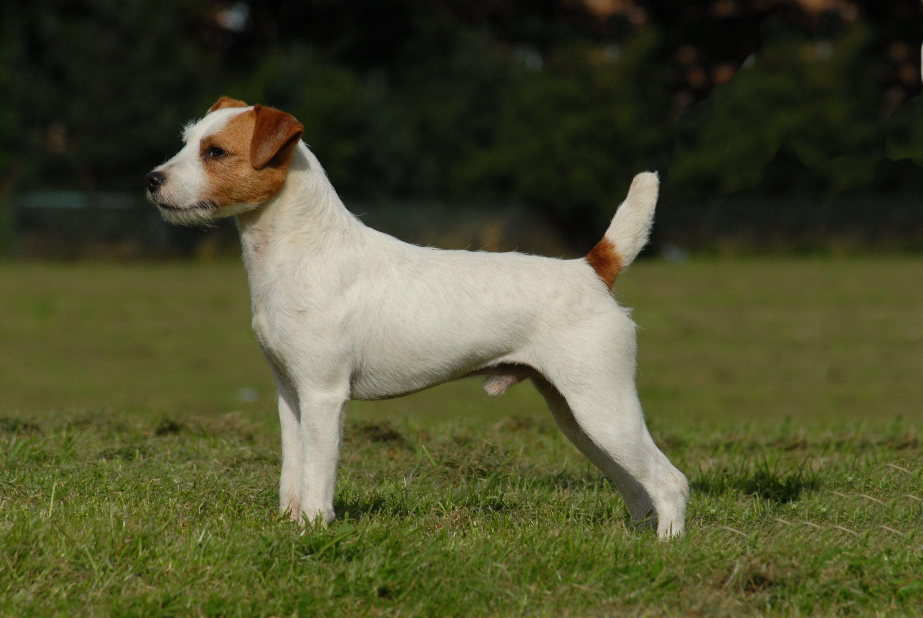 Jack Russell Terrier Akc Dog Breeds Dog Breeds Terrier Dog Breeds