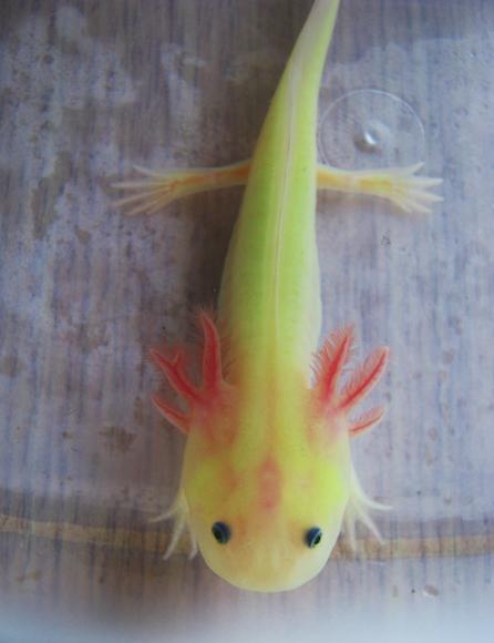 GFP leucitic axolotl they glow in the dark! popular pet in ...