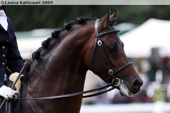 Welsh Part Bred (44,2% Welsh blood) stallion Speyksbosch Diablo