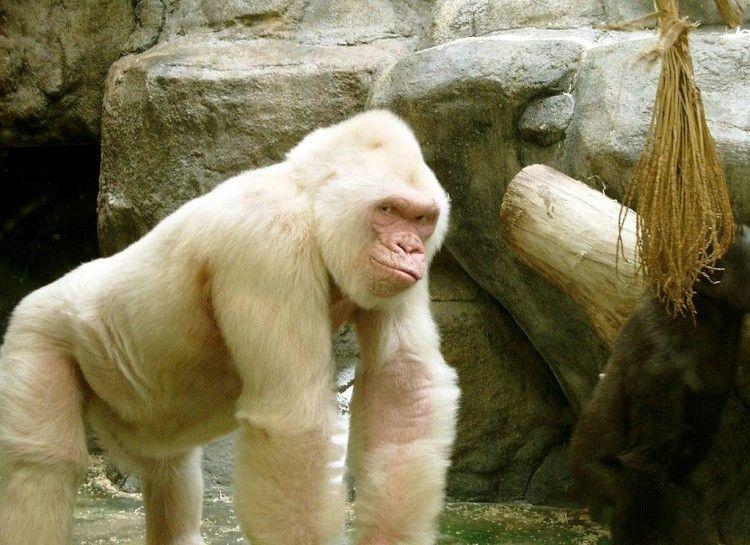 Albino Gorilla - 13 Naturally Color-Mutated Animals ...