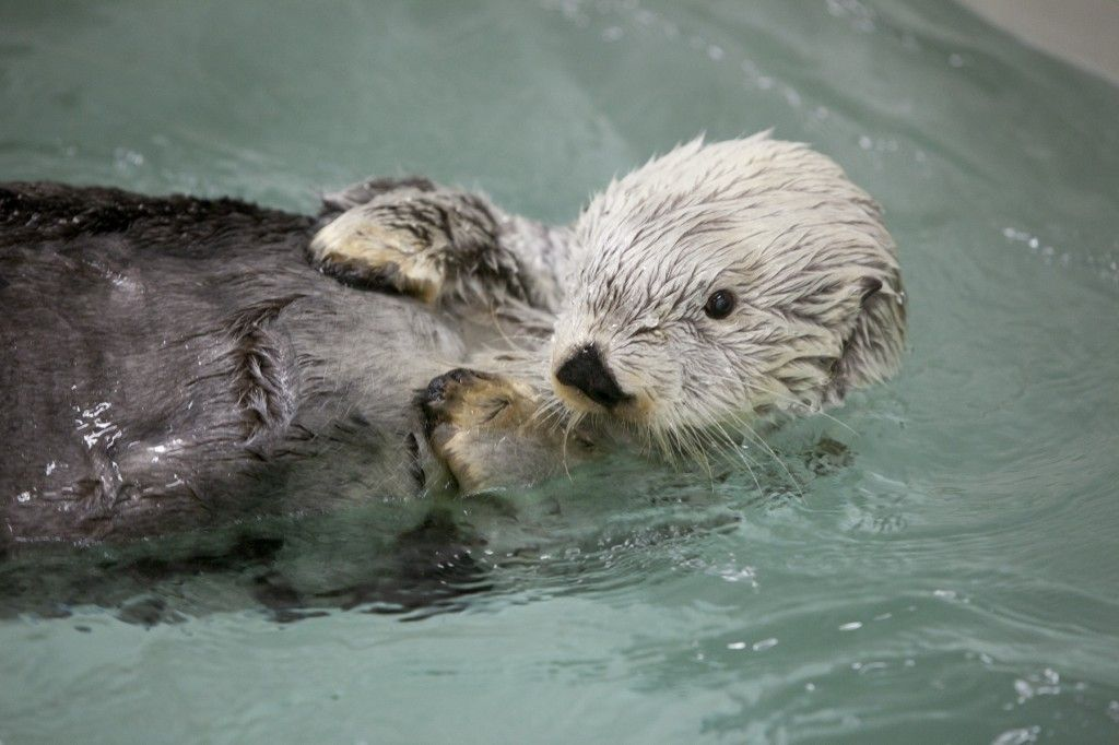 Image of: Kenai One Of The Last Sea Otter Survivors Of The Exxon Valdez Oil Spill Has Died October 12 2012 Pinterest Kenai One Of The Last Sea Otter Survivors Of The Exxon Valdez Oil