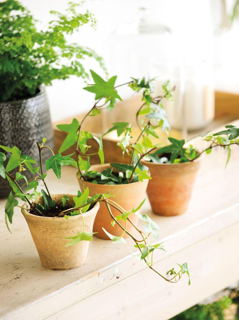 hiedra interior Hiedra In 2019 Plants Plants Planters Green