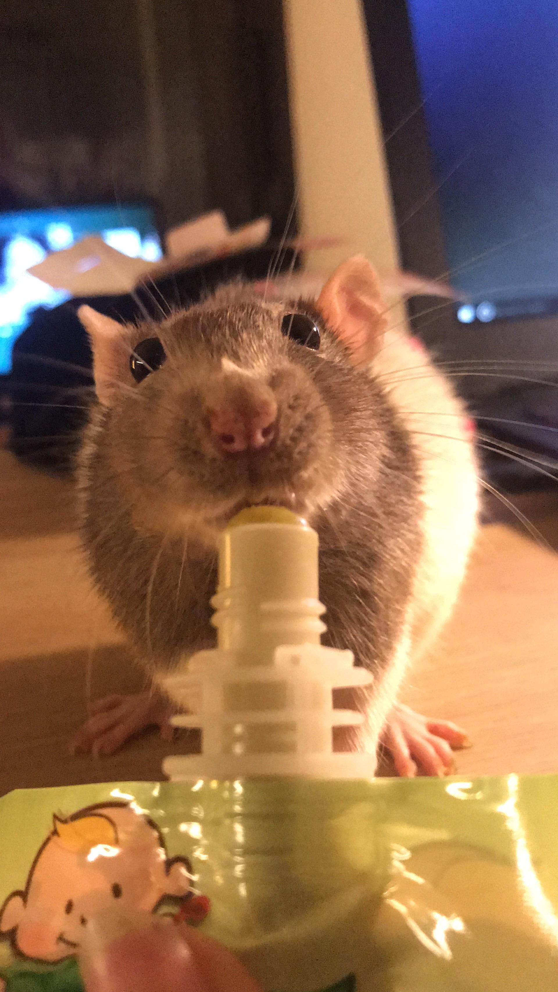 Om Nom Nom Aww Cute Rat Cuterats Ratsofpinterest Cuddle