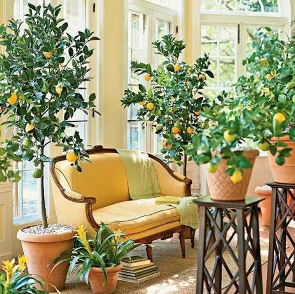 Home Decor Indoor Lemon Trees Little Piece Of Me