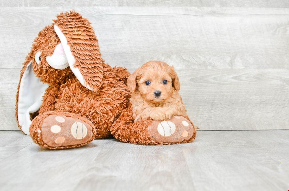 Cavapoo Puppies Ohio Cavoodles For Sale Online Cavapoo