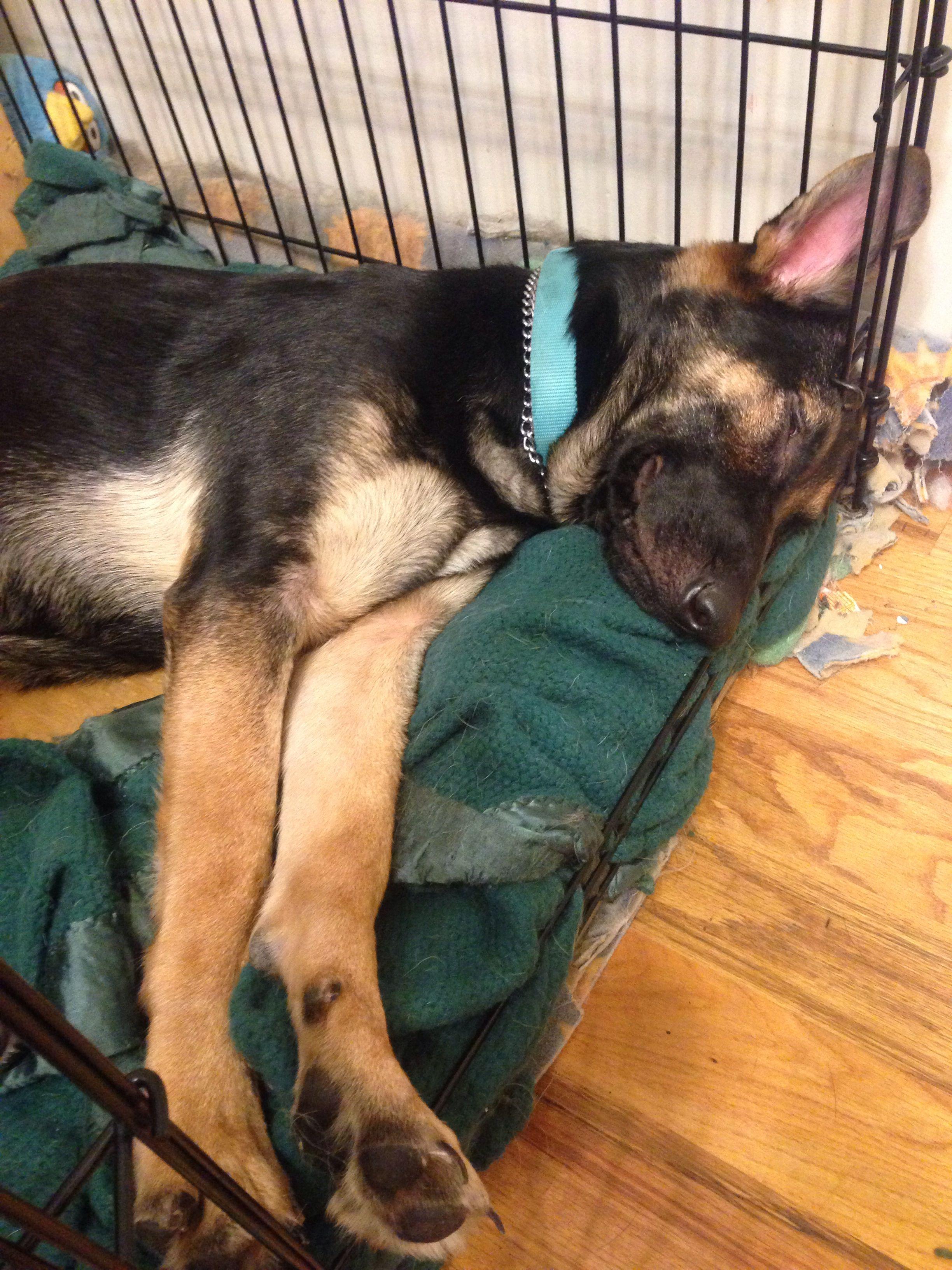Sleepy German Shepherd Puppy Sleepy Indeed God Bless U My Angel
