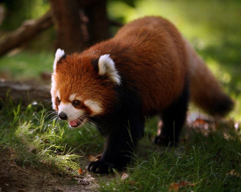 Red Panda :)