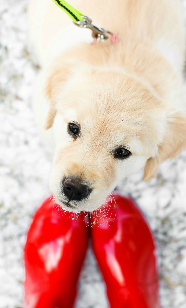 Golden retriever dog food and puppy care