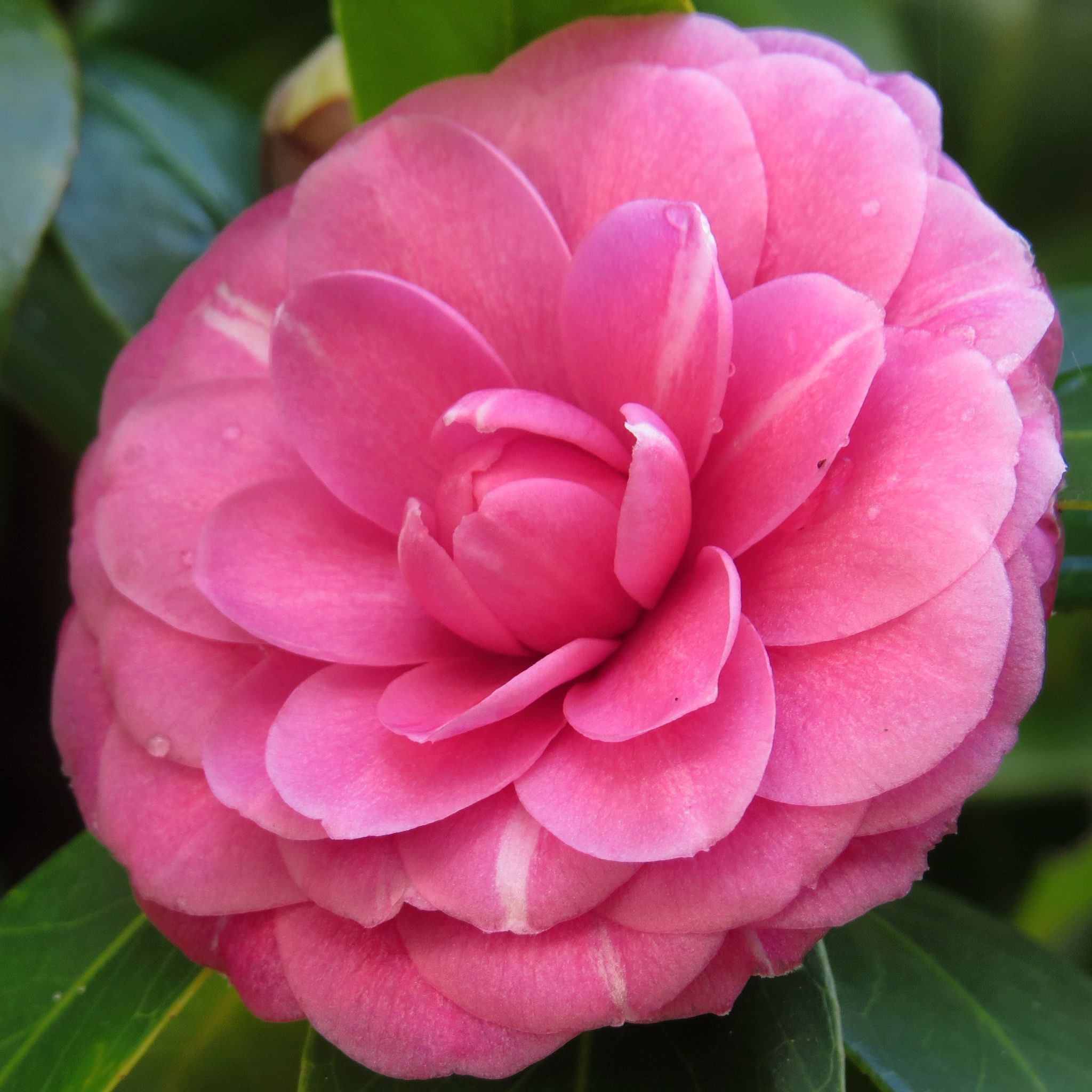 Pink Camellia Japonica Flower Flowers And Plants And Gardens