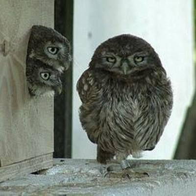 Little Owls by Bo Skelmose