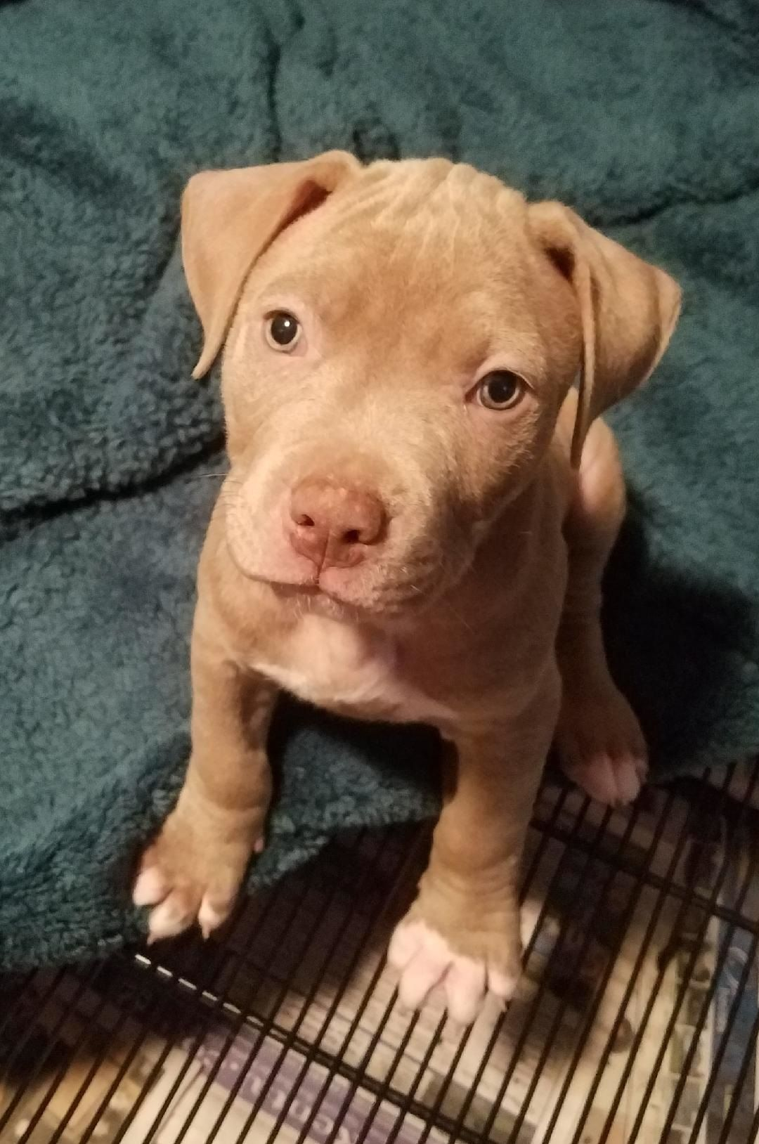Pack Champagne American Pit Bull Terrier Puppies  Buffalo