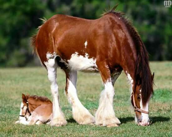 Clydesdales Mama N Baby Horse StuffBig HorsesPretty